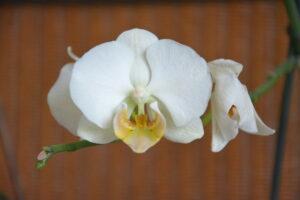 orchi_blanc