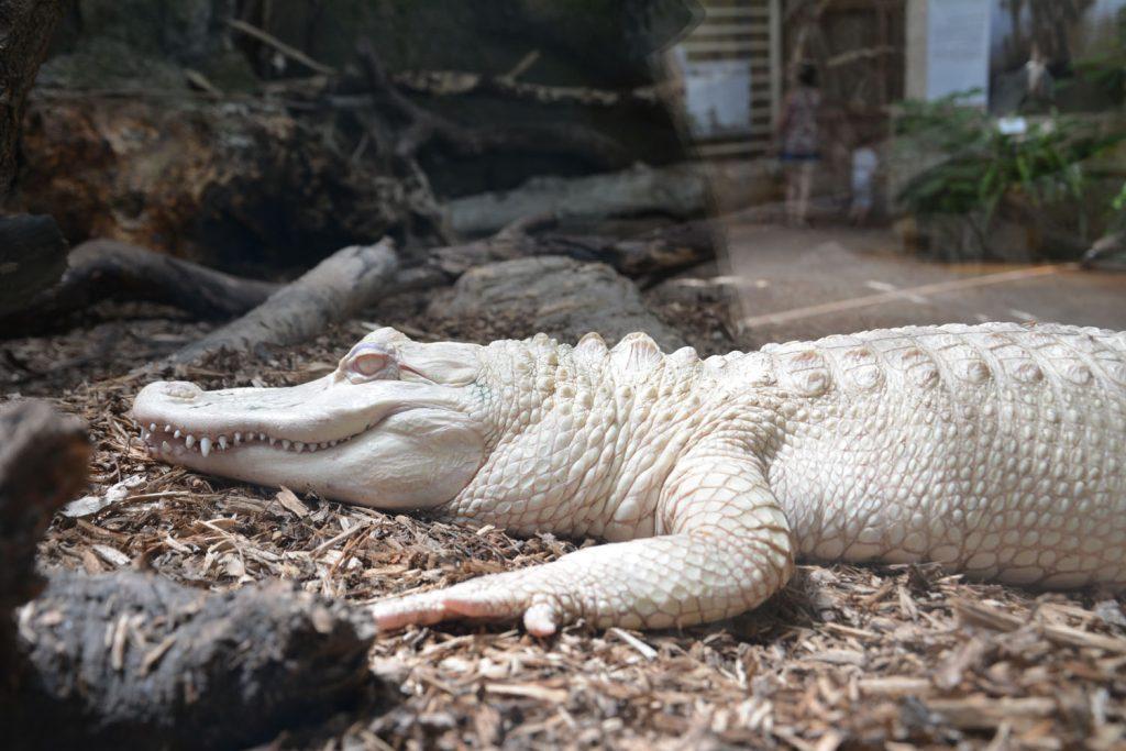 aligator albinois