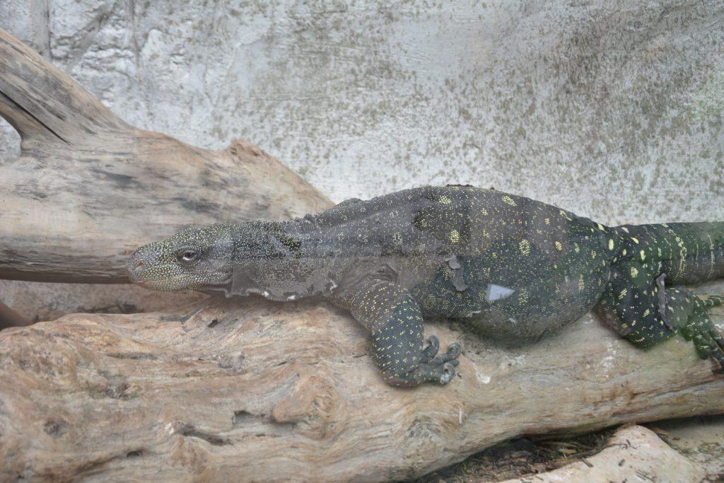 varan_crocodile
