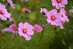 zéro déchet jardin : récupérer les graines de cosmos
