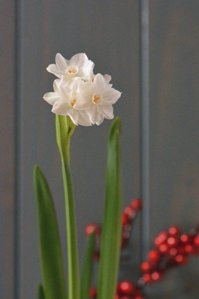 Narcisse paperwhite fleuri en hiver