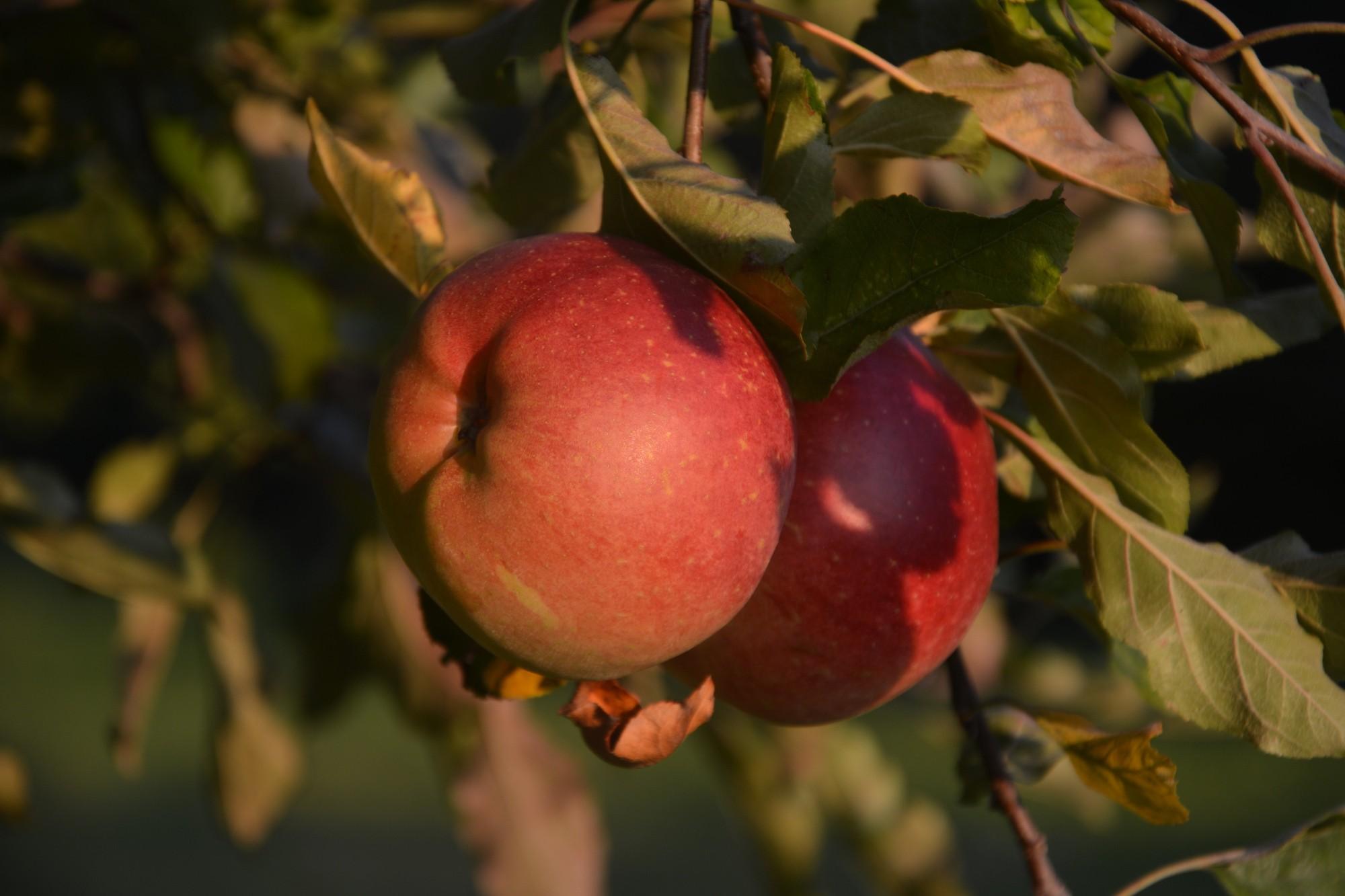 Différentes Variétés De Thym astuces pour choisir la variété de pommes - au fil du thym