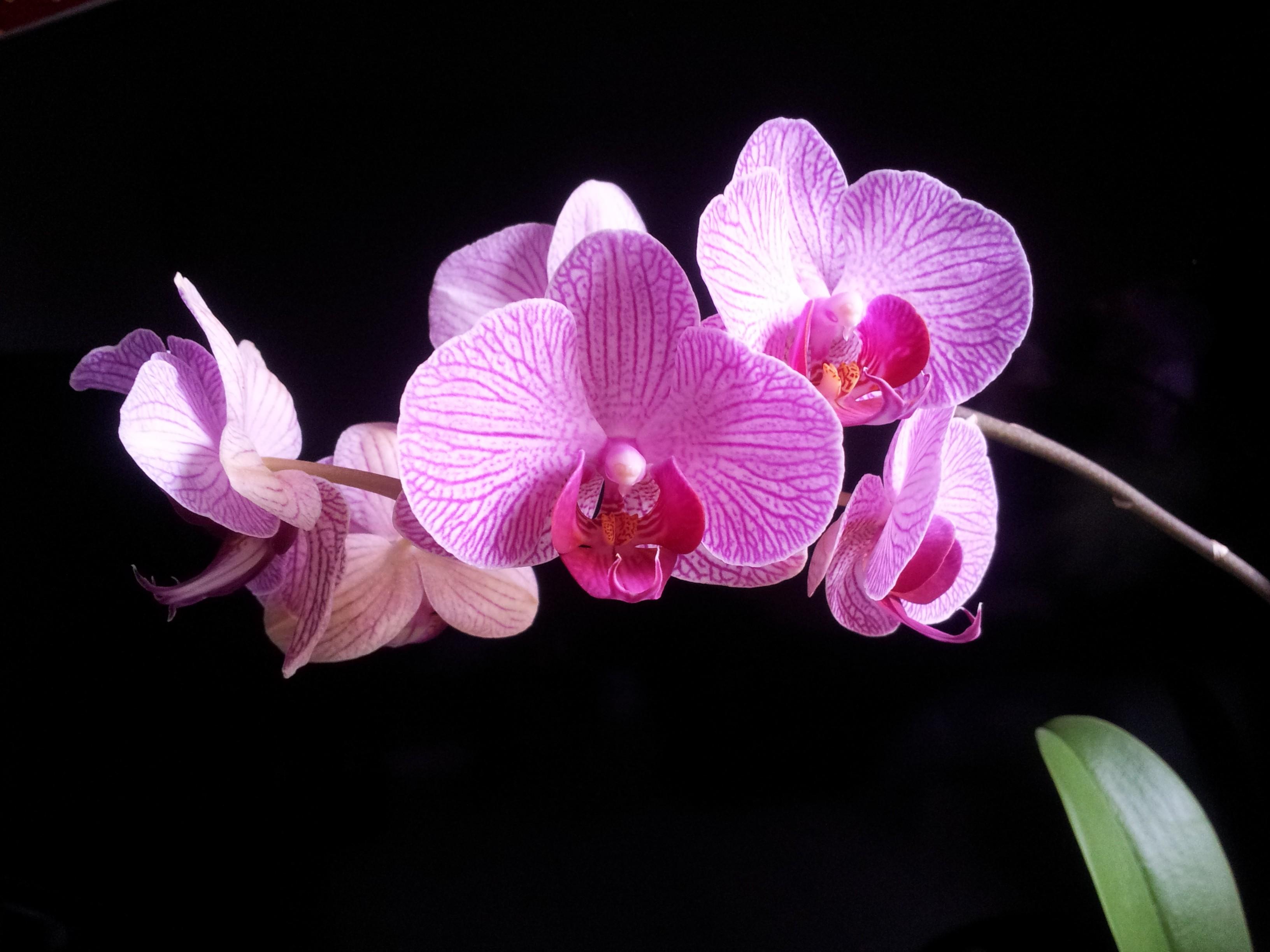 {Déco} Astuces pour apprivoiser une Phalaenopsis