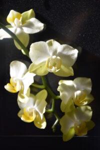 orchid_petite_jaune