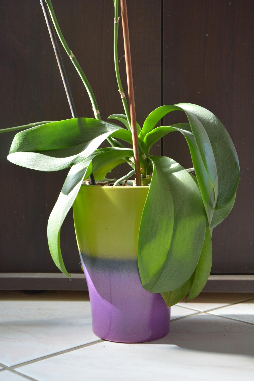 d co astuces pour apprivoiser une phalaenopsis au fil du thym. Black Bedroom Furniture Sets. Home Design Ideas