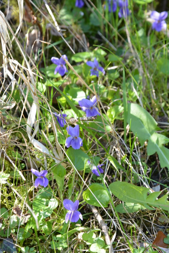 violettes_redim
