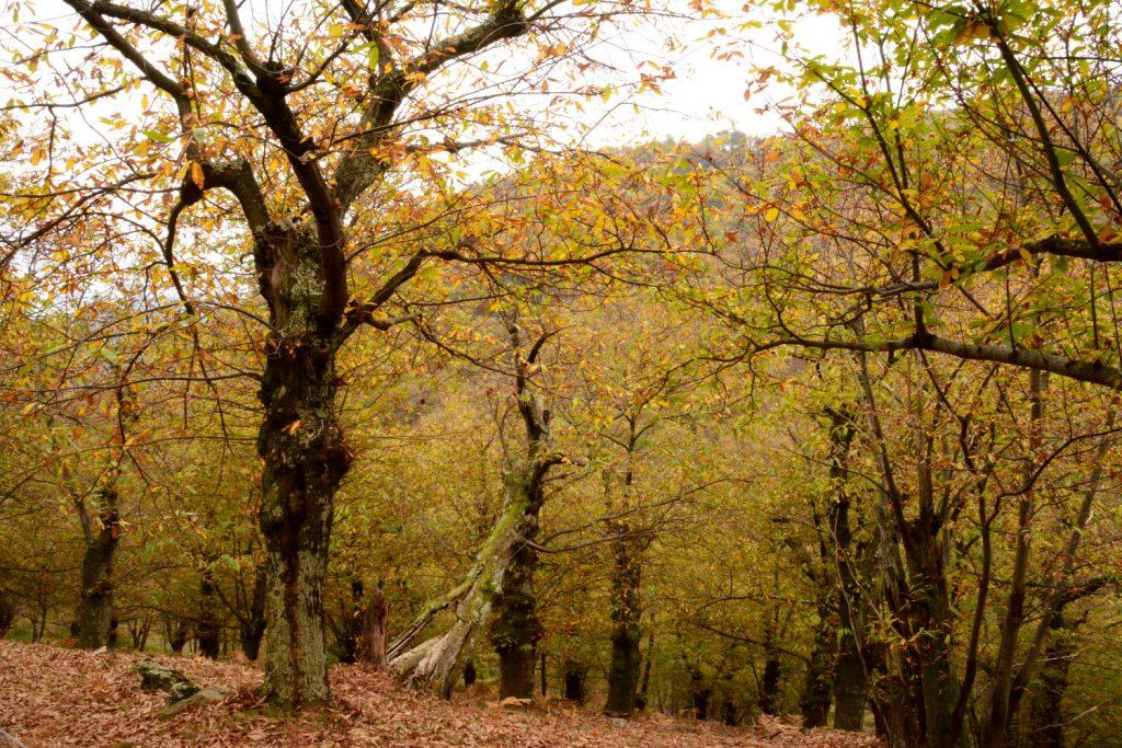 châtaigneraie d'Ardèche