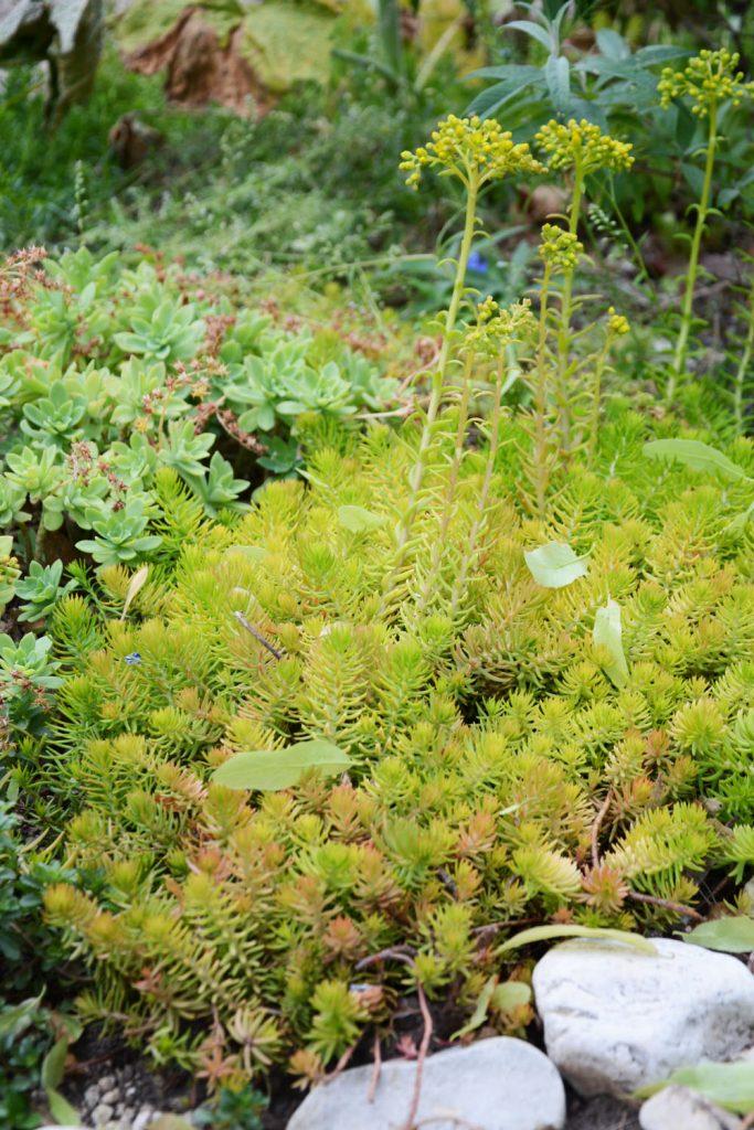 Idées végétaliser terrasse : l'orpin des rochers