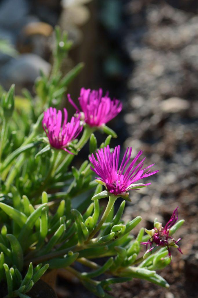 Idées végétaliser terrasse : le pourpier vivace