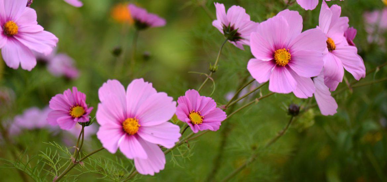 des fleurs d 39 t faciles r ussir pour le jardin ou la terrasse au fil du thym. Black Bedroom Furniture Sets. Home Design Ideas