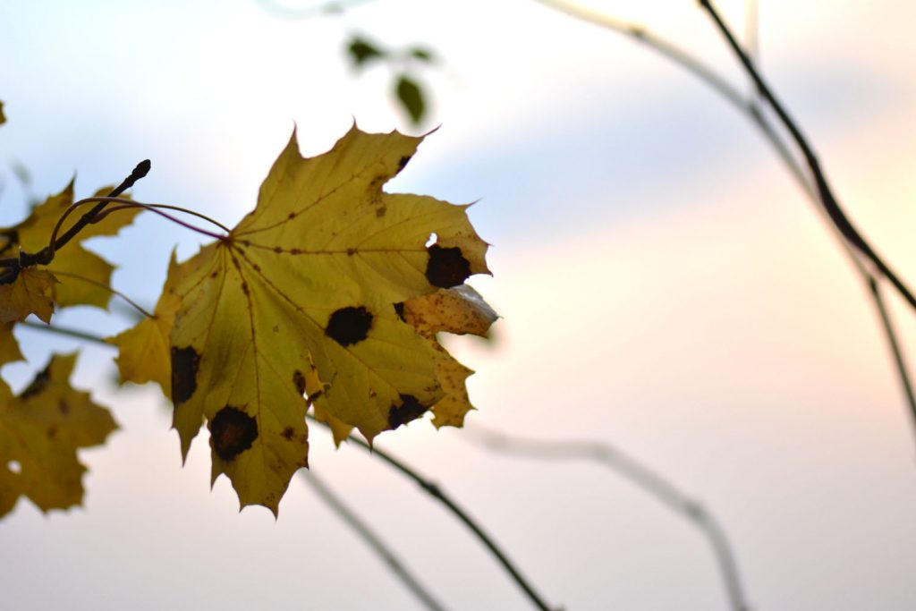Idées d'arbres colorés automne : l'érable champêtre