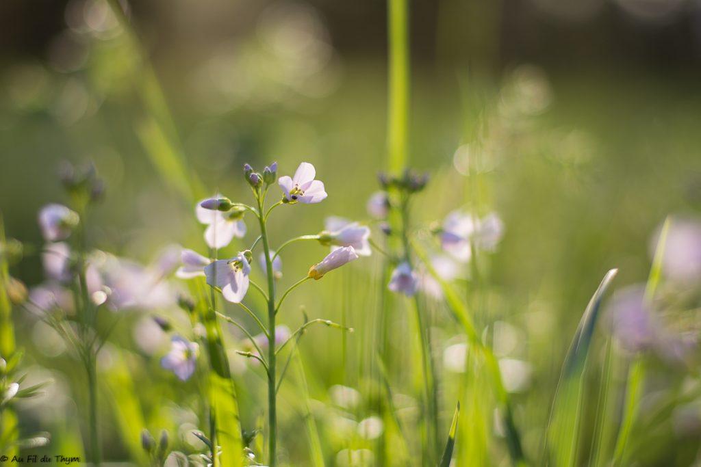 Cardamine des prés au printemps
