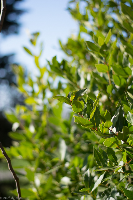 Laurier sauce - un grand buisson aromatique et décoratif , dont on utilise les feuilles pour réaliser des bouquets garnis