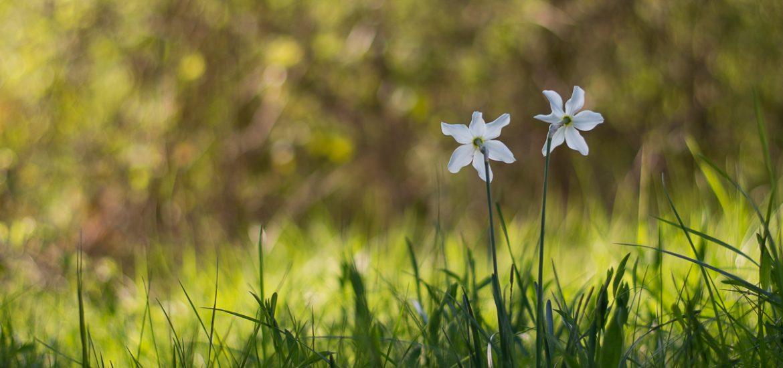 Narcisses sauvages (Vercors, Drome, printemps 2018)
