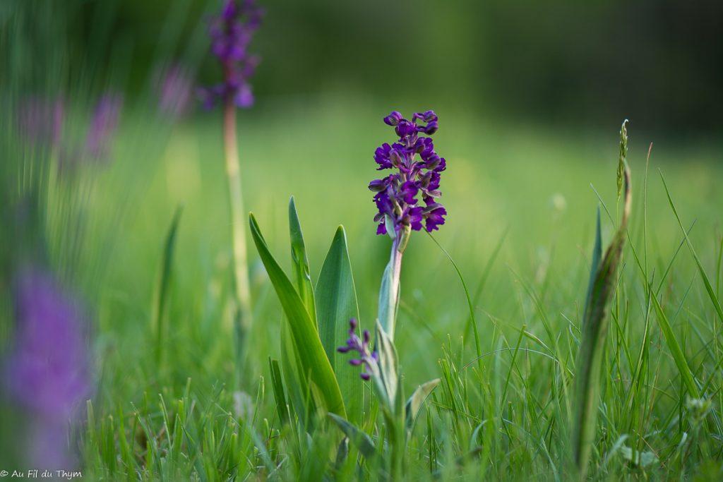 orchidée sauvage vercors (orchis bouffon) en soirée