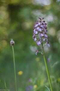 Orchis mâle Vercors au printemps