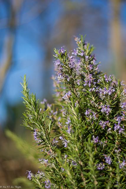Romarin officinal : un arbuste robuste et très décoratif - Ses feuilles sont très utilisées en cuisine d'été