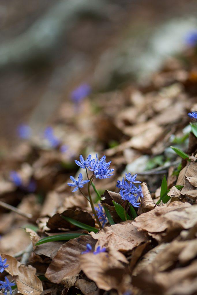 Scille deux feuilles au plateau d'ambel (printemps)