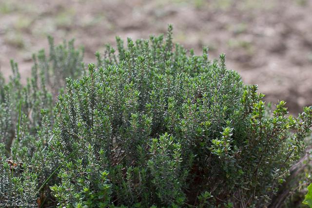 Thym - Une aromatique facile à entretenir, très robuste, idéale au jardin ou en pot - Très utile pour la cuisine ou des infusions