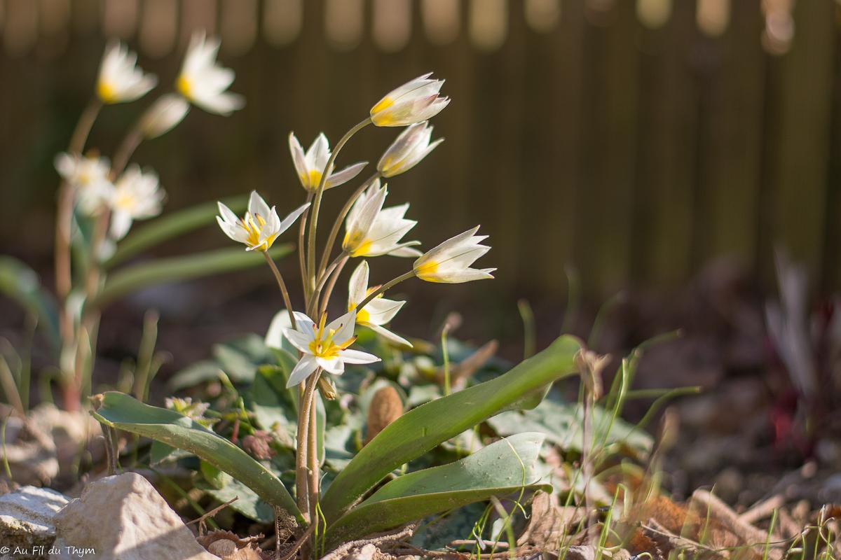 Tulipes botaniques au printemps 2018 - Au Fil du Thym
