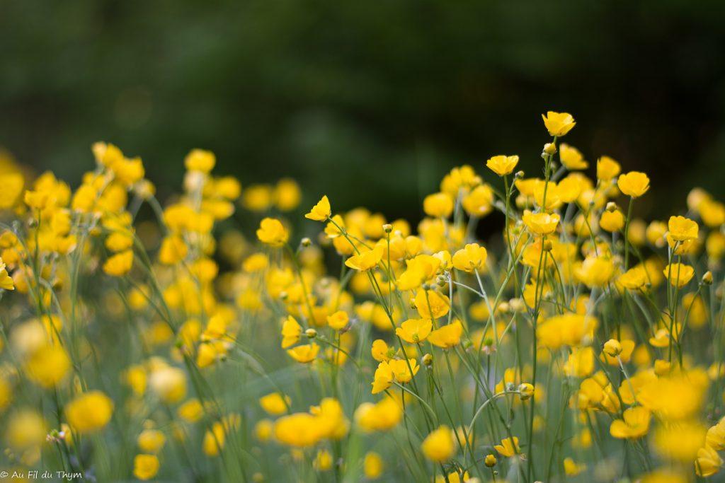 Renoncules dans les champs - Belles fleurs champs au printemps 2018