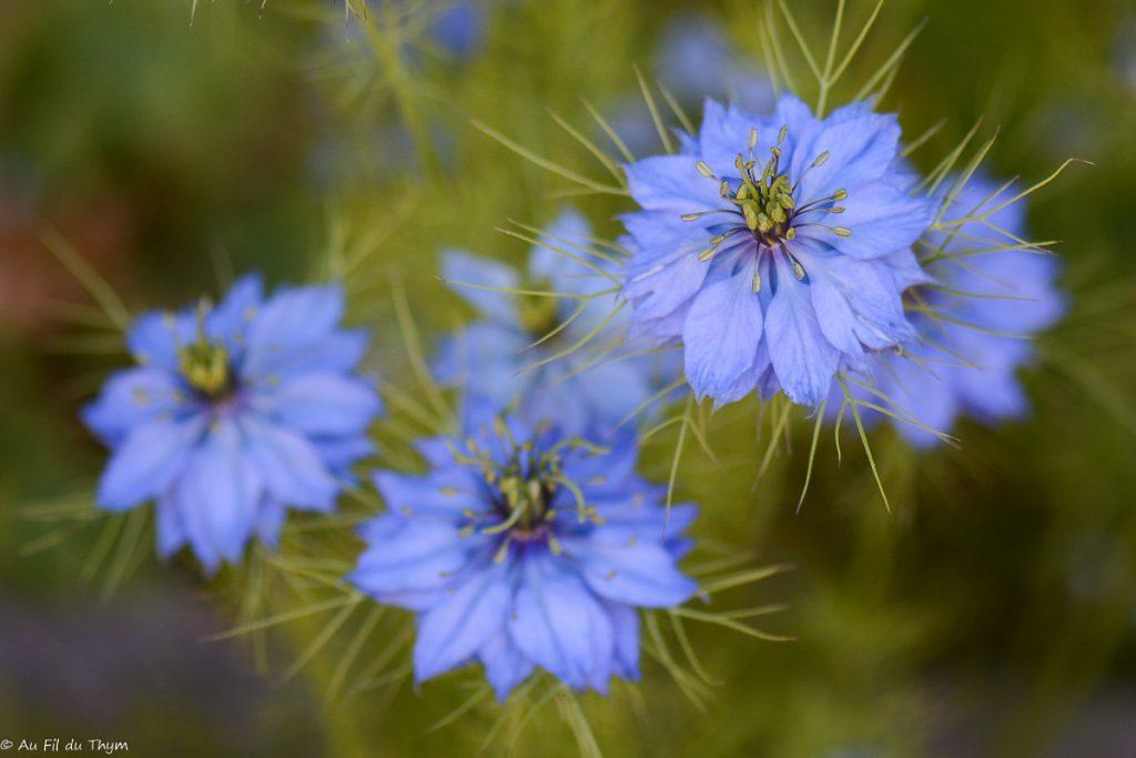 Nigelle de Damas - fleur été facile