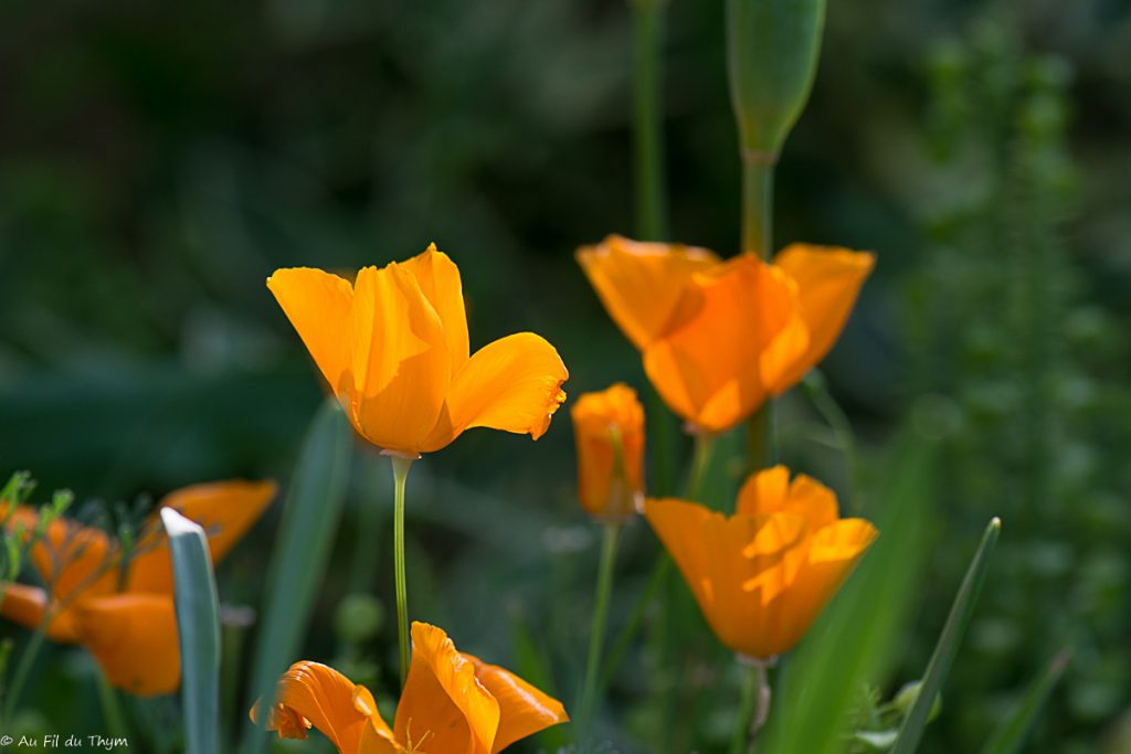 Pavot de Californie - Fleur d'été facile à réussir
