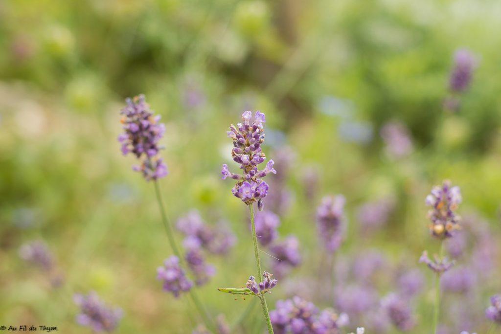 Lavande - plante pour abeille