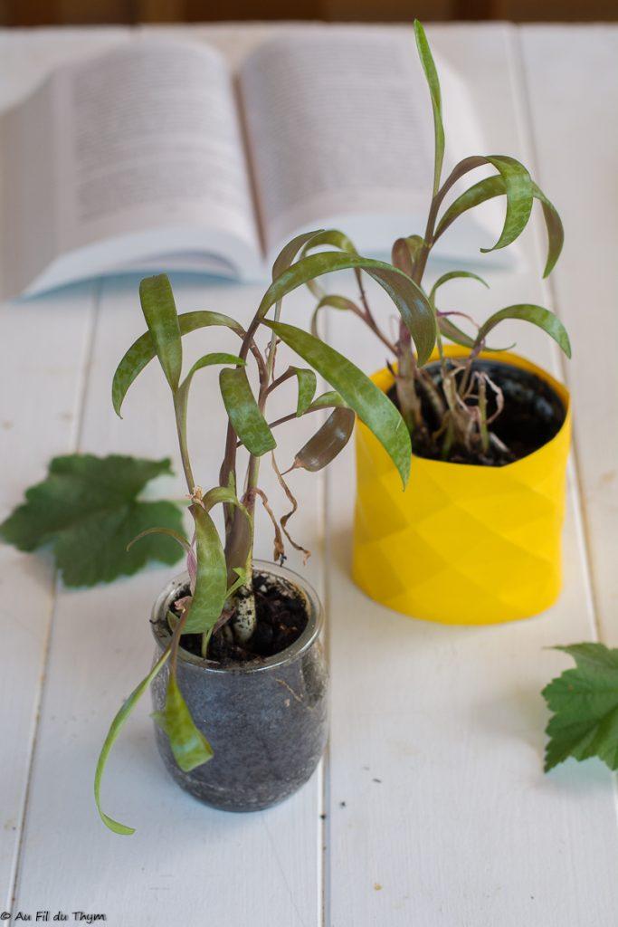 Ornithogalum caudatum - Succulente à bulbes facile à entretenir - Au Fil du Thym