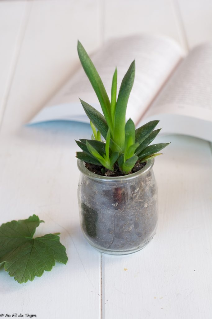 Gasteria (gasteria croucheri ) - succulente durable facile à entretenir - Au fil du Thym