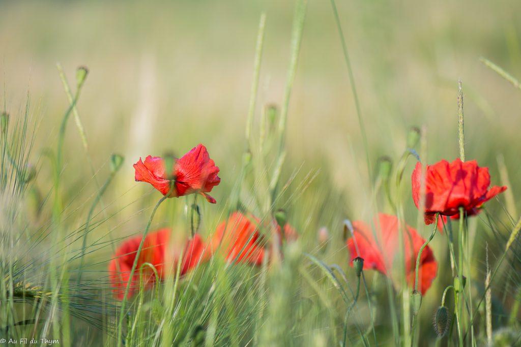 photographie coquelicots dans les champs - printemps 2018