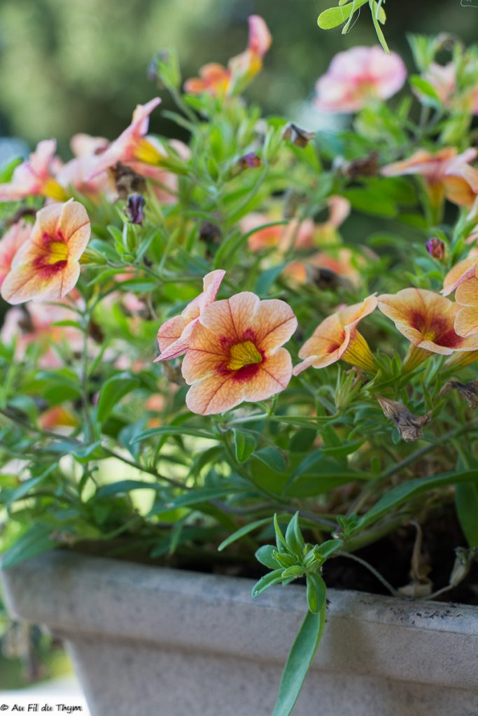id es de plantes fleuries en pot pour la terrasse d 39 t. Black Bedroom Furniture Sets. Home Design Ideas
