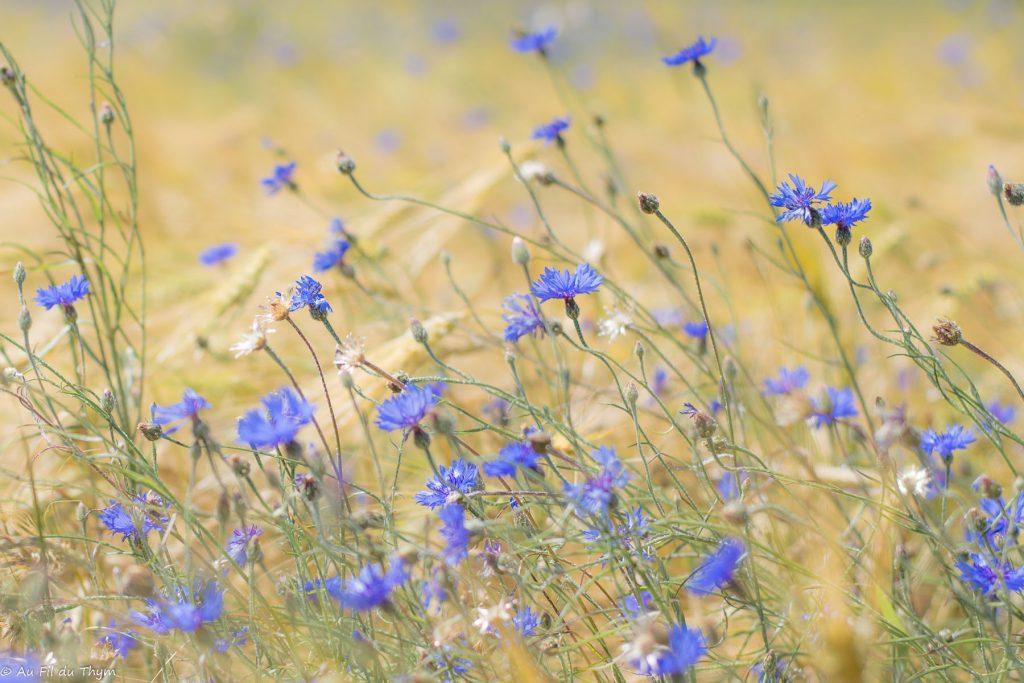 centaurées et champs de blé - macrophotographie