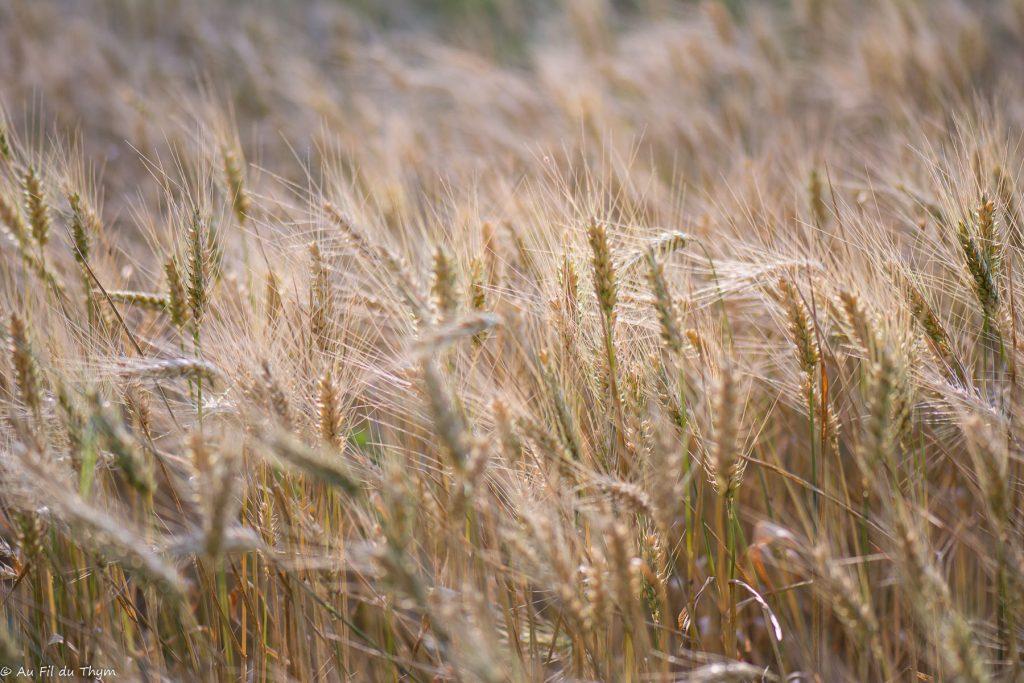 Champs de blé en été - Macrophotographie