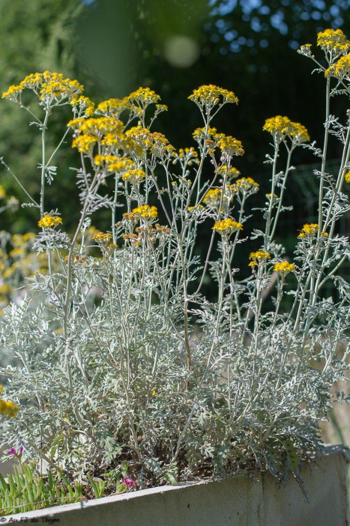 cineraire maritime - plante fleurie ete - au fil du thym