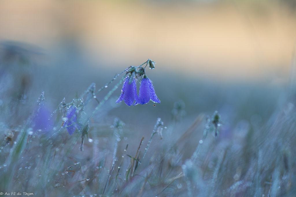 Macrophotographie Campanule sauvage - fleurs début automne