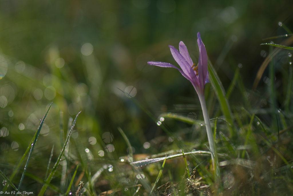 Macrophotographie Colchique sauvage - fleurs début automne