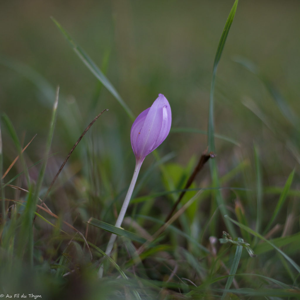 Macrophotographie Colchique sauvage - Fleur de fin d'été / début automne