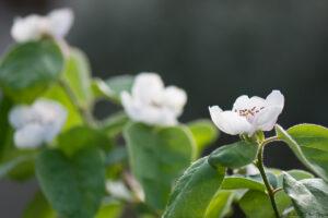 Cognassier en fleur