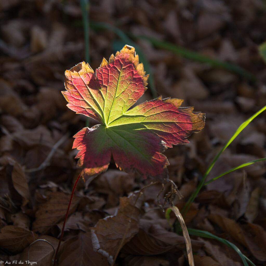 Idée d'arbres colorés automne : L'érable