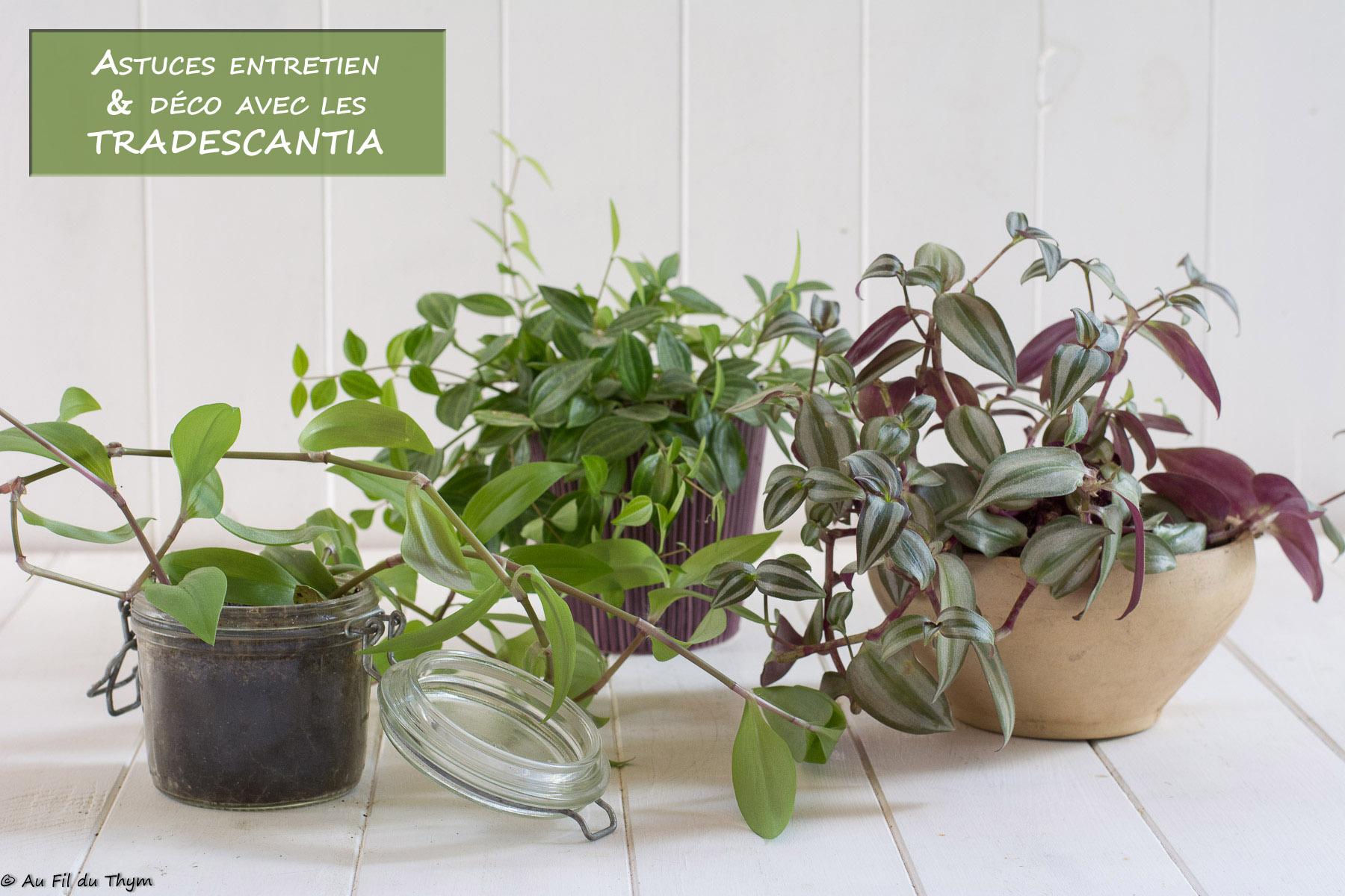 Comment Arroser Mes Plantes Pendant Les Vacances astuces pour apprivoiser les tradescantias (entretien