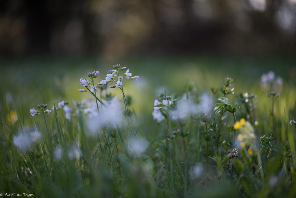 macrophotographies fleurs printemps - Cardamine des prés