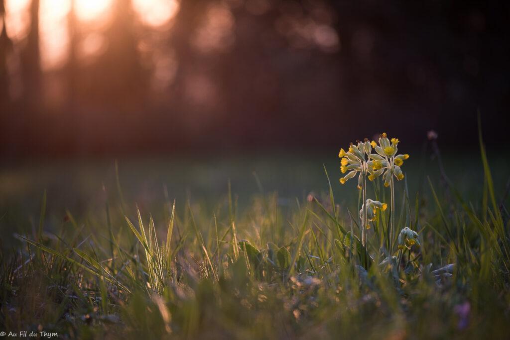 macrophotographies fleurs printemps - Coucous