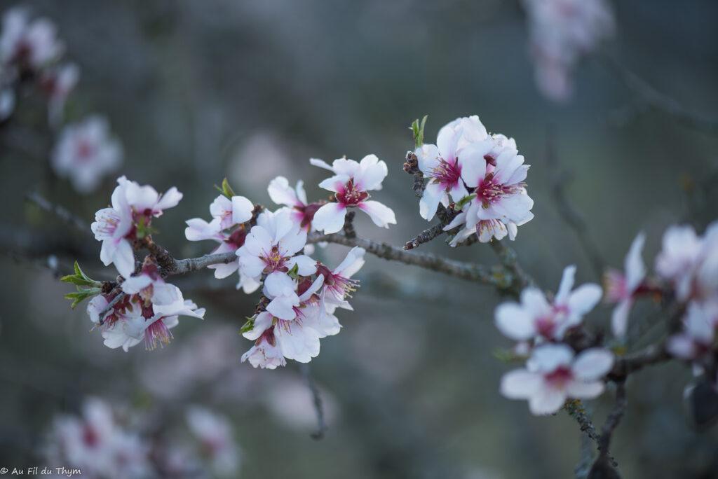 macrophotographies fleurs printemps - Amandier Sauvage
