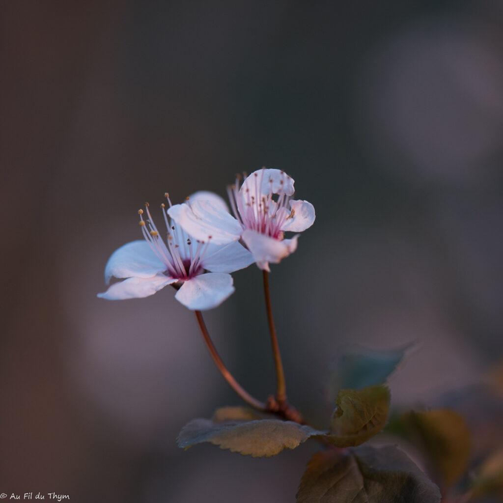 macrophotographies fleurs printemps - Prunus