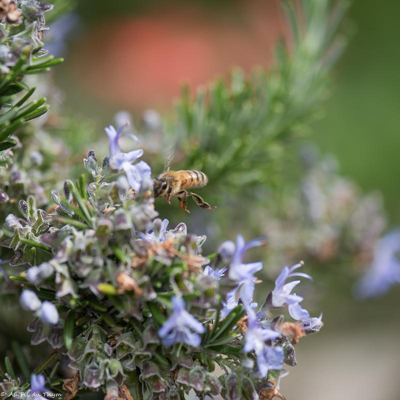 Romarin - Plante pour abeille
