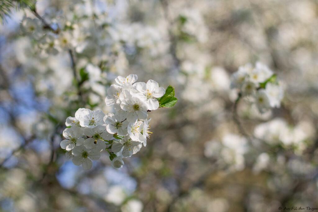 Cerisier en fleurs - Idées plantes pour abeilles