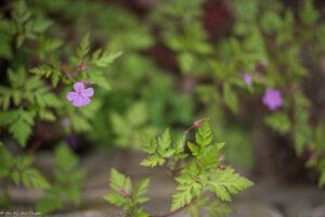 Géranium herbe à robert -Idées de plantes pour abeilles