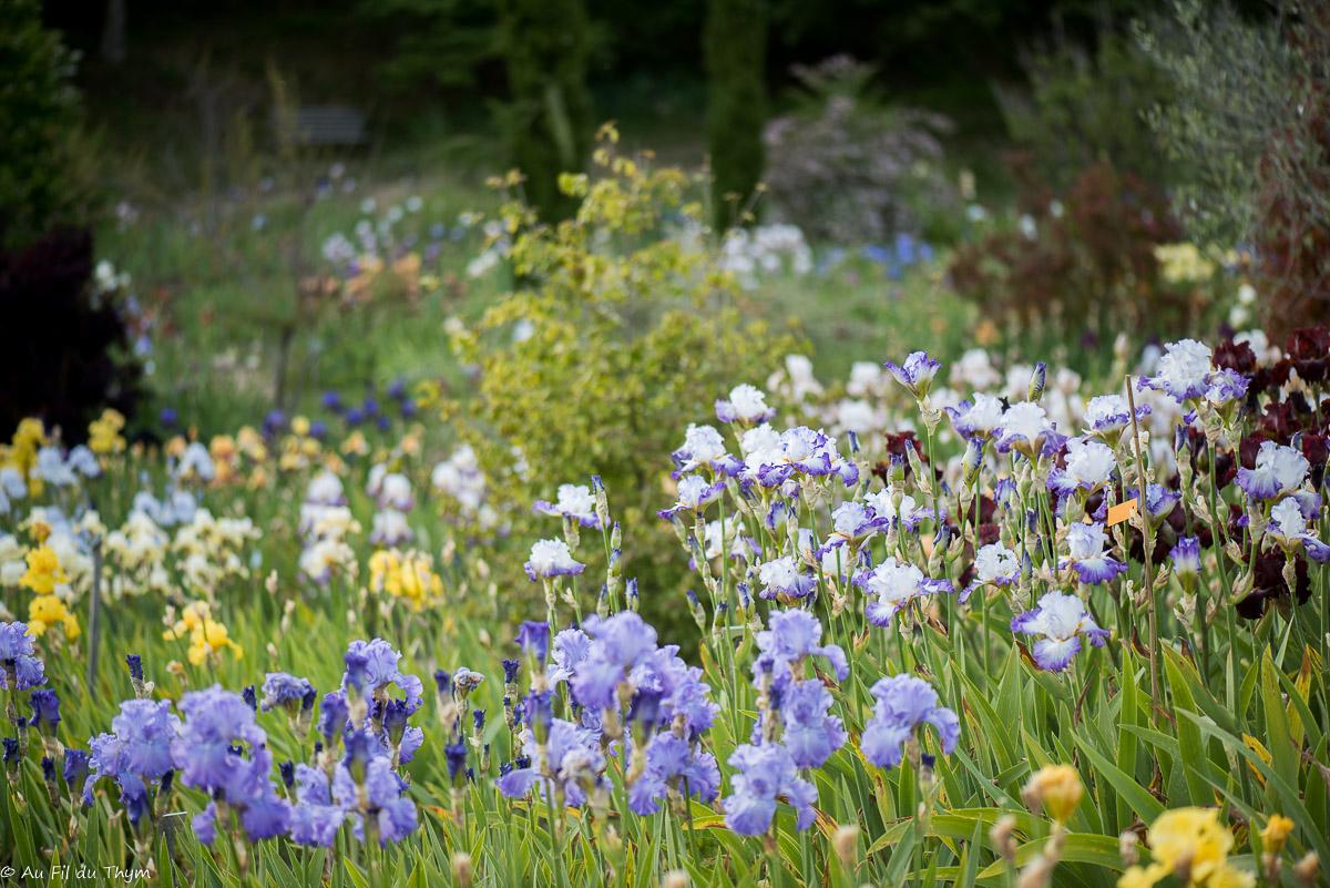 Balade dans les champs d'iris du Grand Barbu