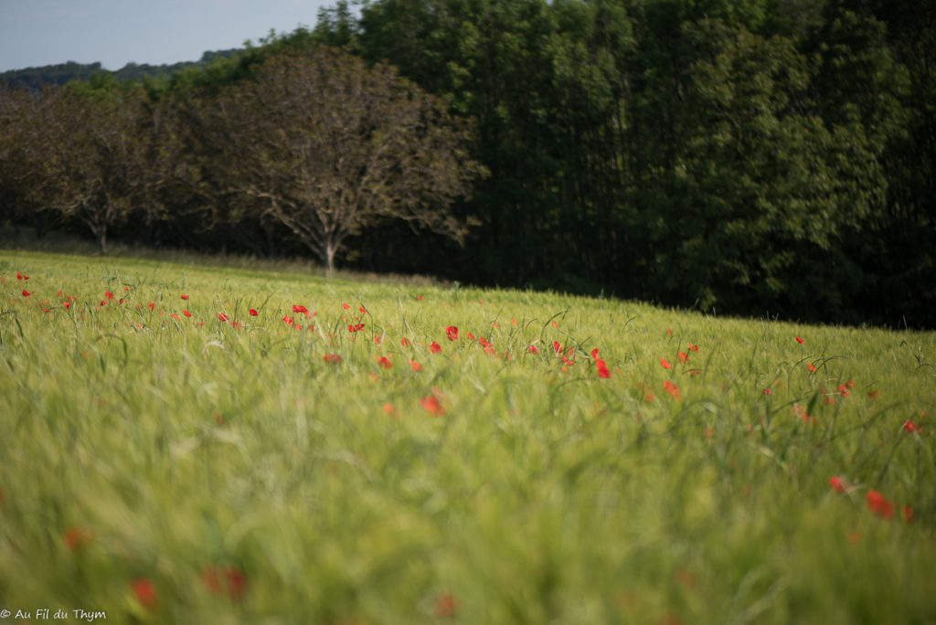 Coquelicots dans les champs